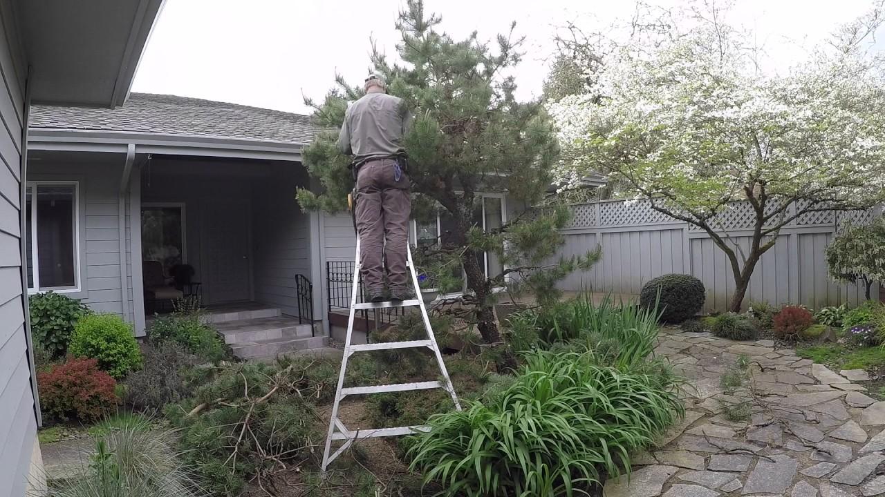 Coast Pine Pruned Japanese Style—Restorative Pruning (Year One)