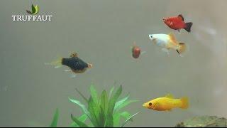 Quels poissons choisir pour votre aquarium ? - Jardinerie Truffaut TV
