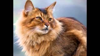 Сомали, или сомалийская кошка (Somali cat) породы кошек( Slide show)!