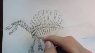 How to draw a Spinosaurus skeleton part 1.(In this video I will show you how to draw a side view of the skeleton of Spinosaurus. Enjoy, and please subscribe! :-) PS. check out part 2., 2016-04-26T12:30:28.000Z)