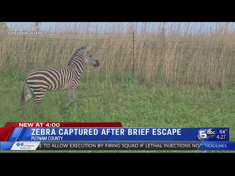 """Mad"" Zebra Breaks Free In Middle Tennessee, Gets Tased"