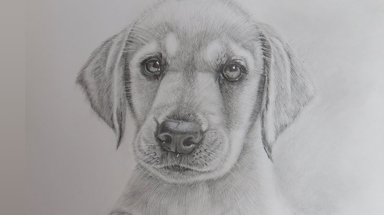 How to draw a realistic puppy dog labrador retriever youtube