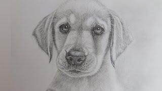 How To Draw A Realistic Puppy Dog Labrador Retriever