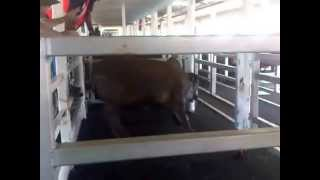 Live Export by Sea - Cow with Broken Leg