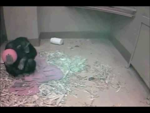 Nina the Chimpanzee awaiting the birth of her baby  01 14 2013