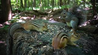 Forest Chipmunks and Squirrels  August 27, 2020
