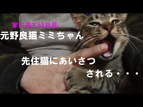 ミミちゃん先住猫にあいさつされる・・・Greeting the indigenous cat