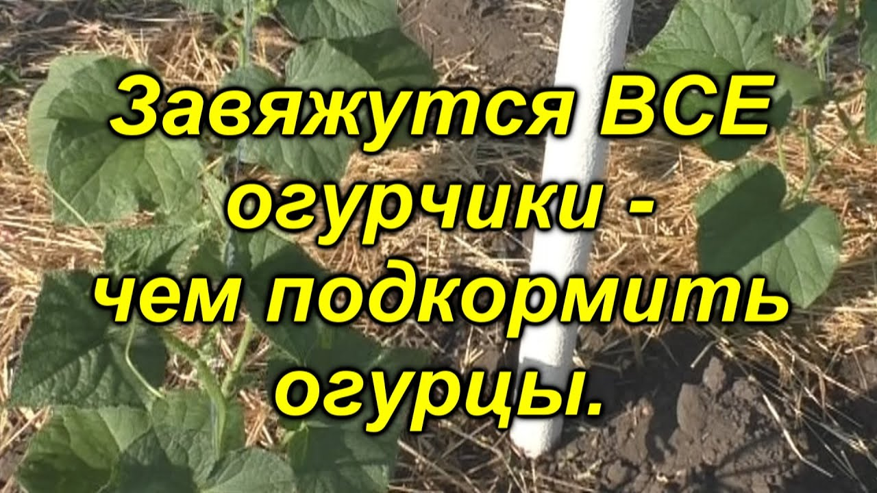 Подкормка огурцов в открытом грунте через 6 дней после высадки.