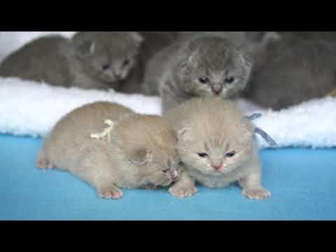 Британские котята в возрасте 2 недели (Litter- M2)
