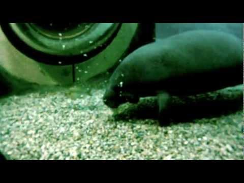 Manatee Illusion Leaving - Cincinnati Zoo