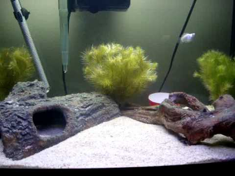 Green spotted puffer molly fish tank youtube for Puffer fish aquarium