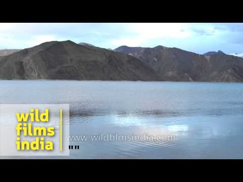 Gulls winter at Pangong Lake in peak winter