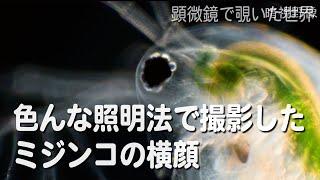 ミジンコ(Daphnia pulex)