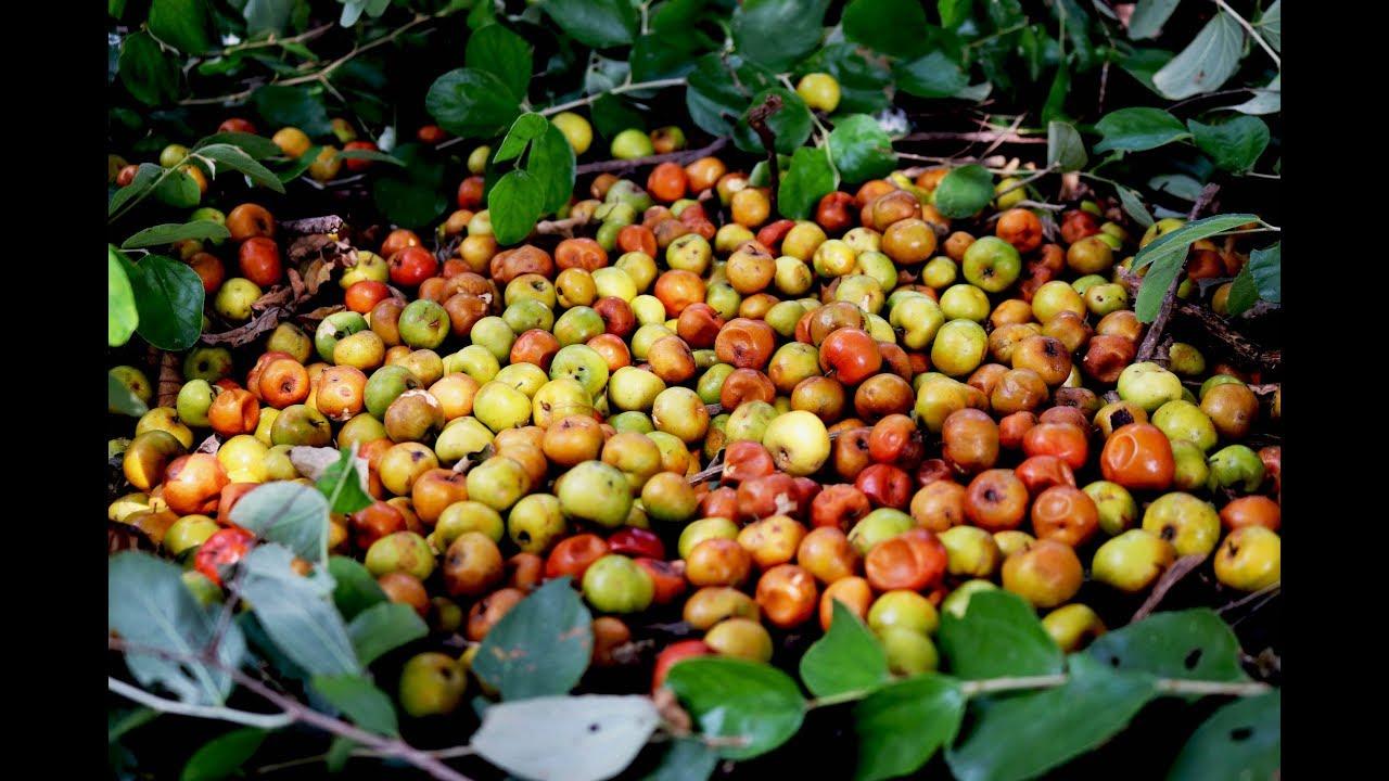 Jujube fruit harvesting in my forest village | village food taste