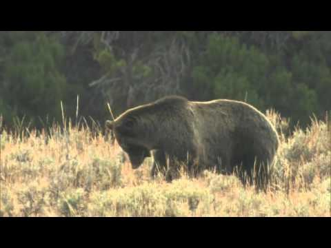 Yellowstone's grizzly bears