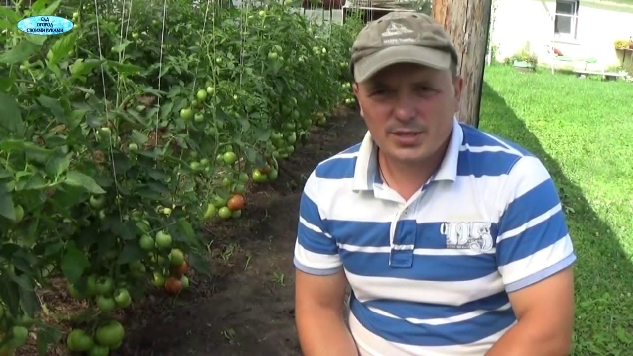 Супер томаты, которые мы будем выращивать в своей теплице!