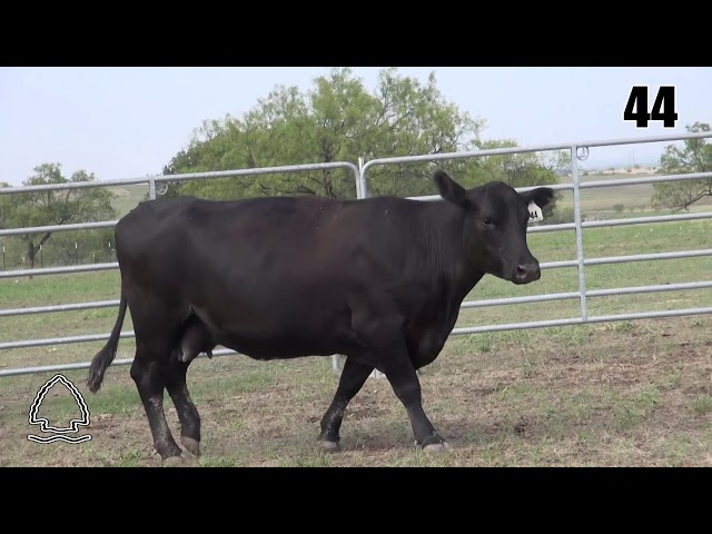Pearcy Angus Ranch Lot 44