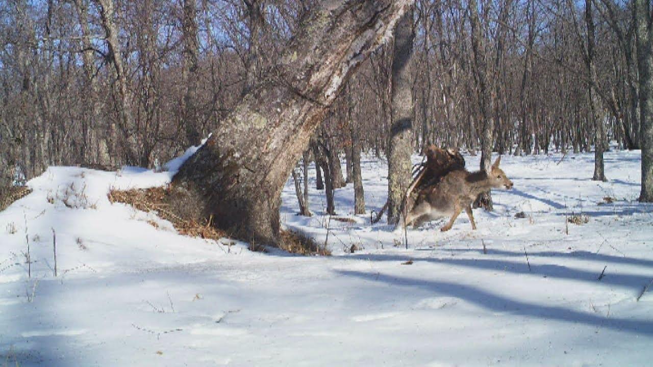 golden eagle attacks and kills deer youtube