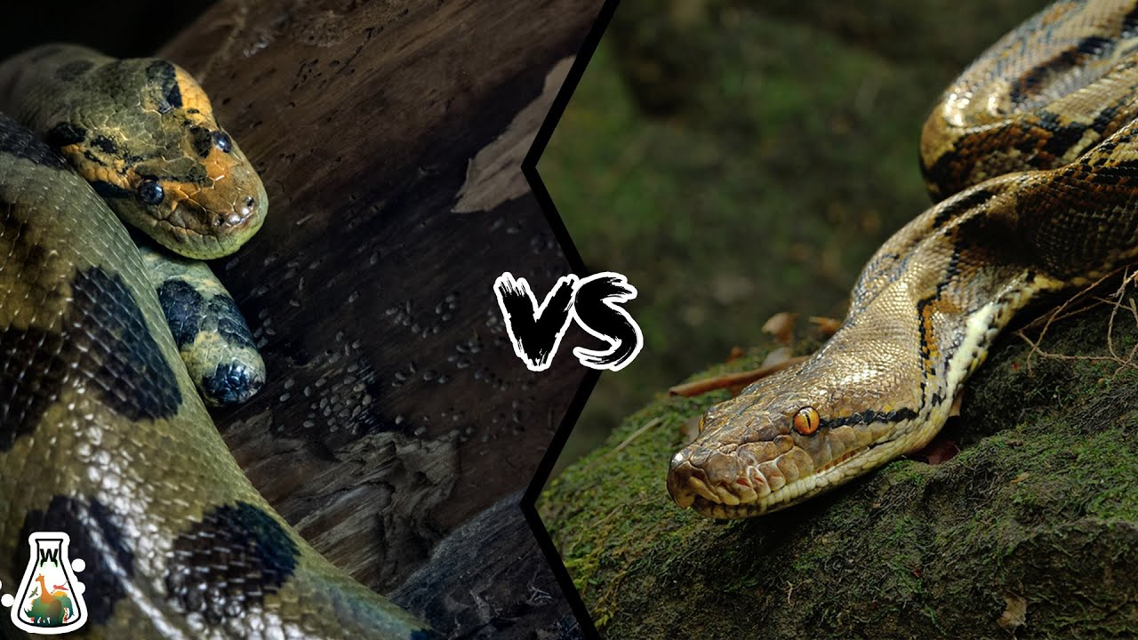 Green Anaconda Vs Reticulated Python Who Is The King Of The Snakes Youtube