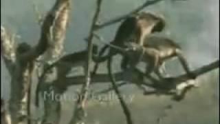 Very fynny monkey sex video very funny funny animal