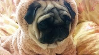 パグ犬ムゥに息子が小さい頃に着ていたダッフィーの着ぐるみを着せてみ...