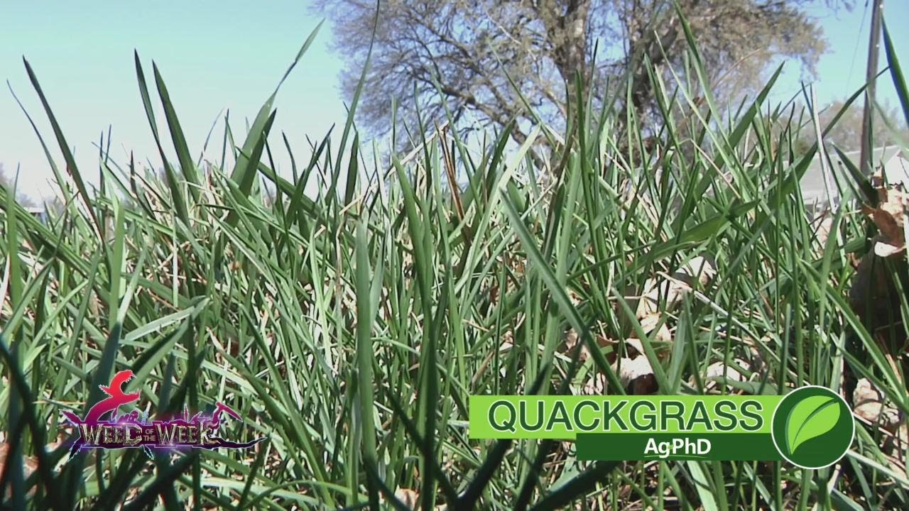 Weed Of The Week 1017 Quackgrass Air Date 10 1 17 Youtube
