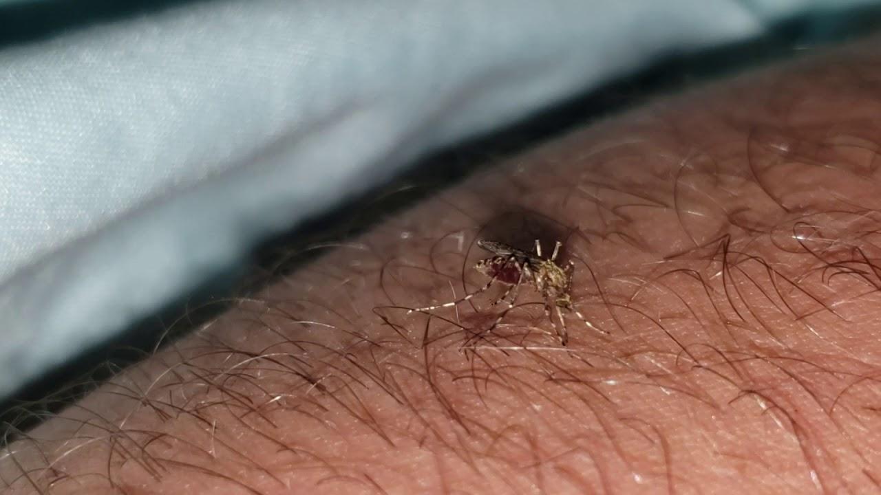 mosquito-biting-cock-fetish