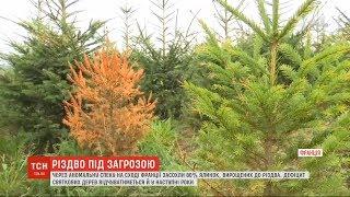 Rojdestvo ostida xavfi: bu Vosges frantsuz Bo'limi issiqlik tufayli daraxtlar 80% quritilgan qadar