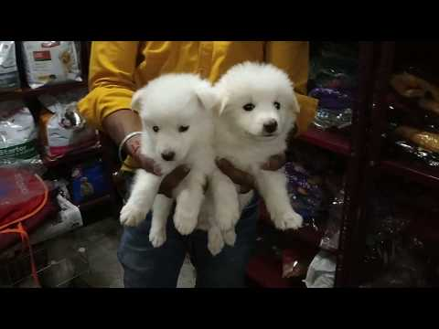 #9582340404 // Show Quality AMERICAN ESKIMO / AND GERMAN SPITZ PUPPIES For Sale In Delhi //....