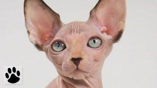 Породы кошек - Сфинкс. [Sphynx (Cat Breed)]