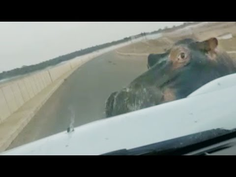 HIPPO ATTACKS & HITS CAR