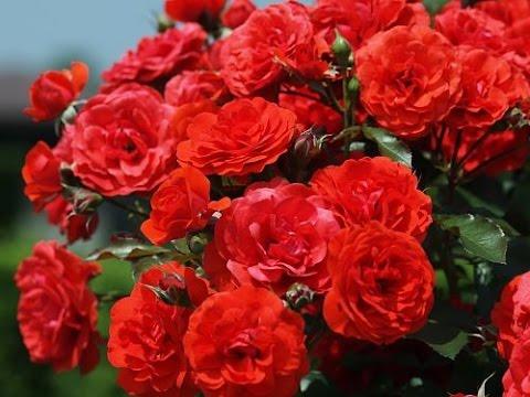Цветы. Розы, фото сортов. Музыка Поля Мориа