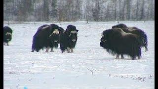 Как арктические животные научились выживать в естественной среде Полярного Урала?