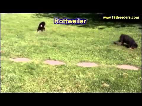 Rottweiler, Puppies, For, Sale, In,Omaha ,Nebraska, NE,Linco
