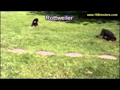 Rottweiler, Puppies, For, Sale, In,Omaha ,Nebraska, NE,Lincoln, Bellevue, Grand Island