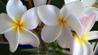 Plumerias: Don't Cut Off All The Leaves!