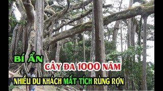 BÍ ẨN Nhiều Vụ MẤT TÍCH Ở Cây Đa Ngàn Năm Tuổi Trên Bán Đảo Sơn Trà Đà Nẵng - Banyan Tree in Da Nang