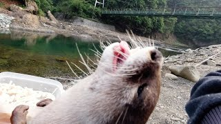 The otter's, who loves to play in the river, holiday morning routine [Otter life Day 287]【カワウソアティ】
