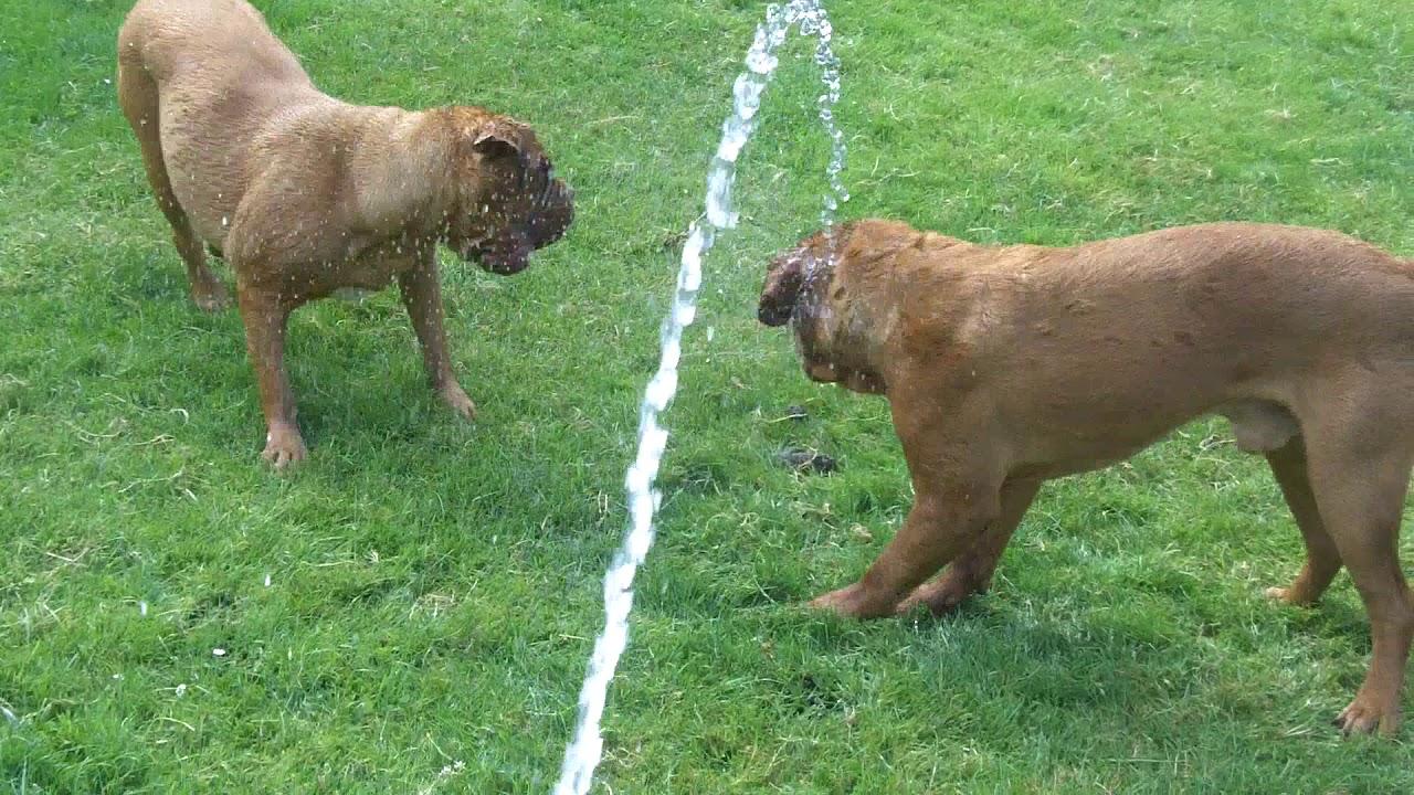 Dog De Bordeauxs Harper & Vinny not impressed with the paddling pool