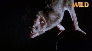 Les chauves-souris vampires