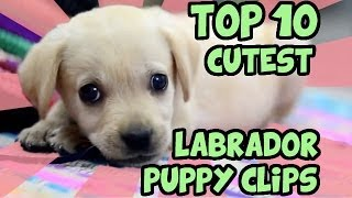 Top 10 Cutest Labrador Puppy Videos Of All Time