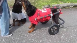 「はな工房」の犬用車椅子です。 後ろ足の片方がリウマチとなり、痛みか...