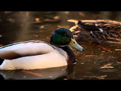 [DUCKS] Ferdinand & Pupske our Garden-Ducks!