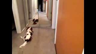 Ziva Playing With Toy In Front Of The Mirror    April 2014    8 Months Oldmvi 2448