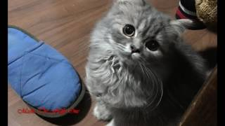 Cute And Fluffy Persian Kitty - Masha The Fluffy One