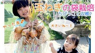 チャレンジ!玉ねぎの袋栽培♪【ちびっこ収穫】