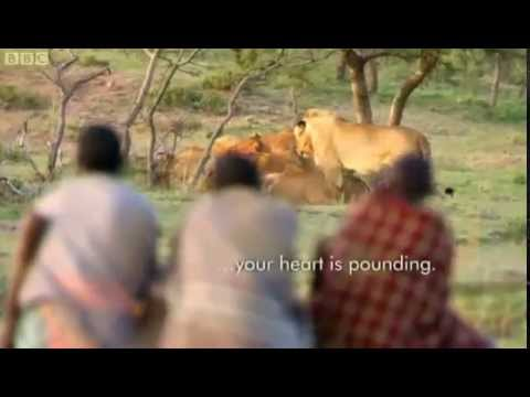 3 African Men Stealing 15 Lion's Food Without a Fight