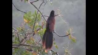 Back Side Beauty of The Greater Coucal or Crow Pheasant Centropus sinensis 3