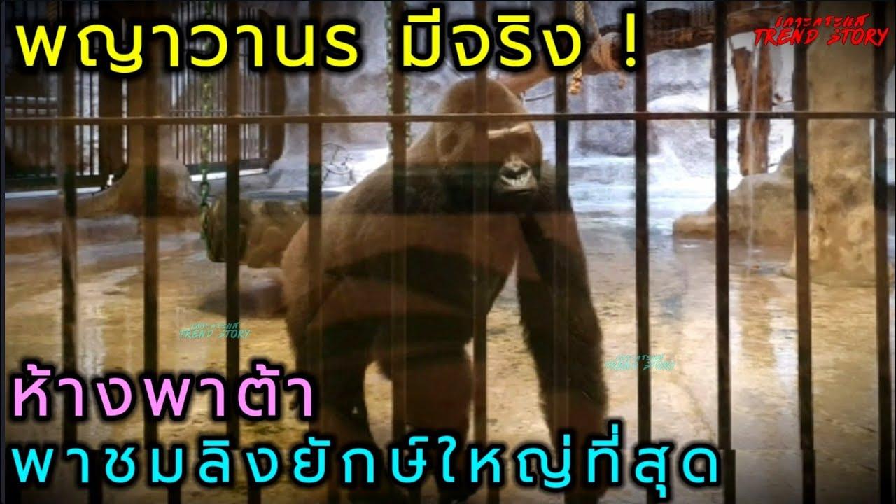 ลิงยักษ์กลางกรุงมีจริงพญาวานรห้างพาต้าตัวใหญ่ที่สุด