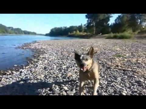 Australian Cattle Dog swimming and playing in the water